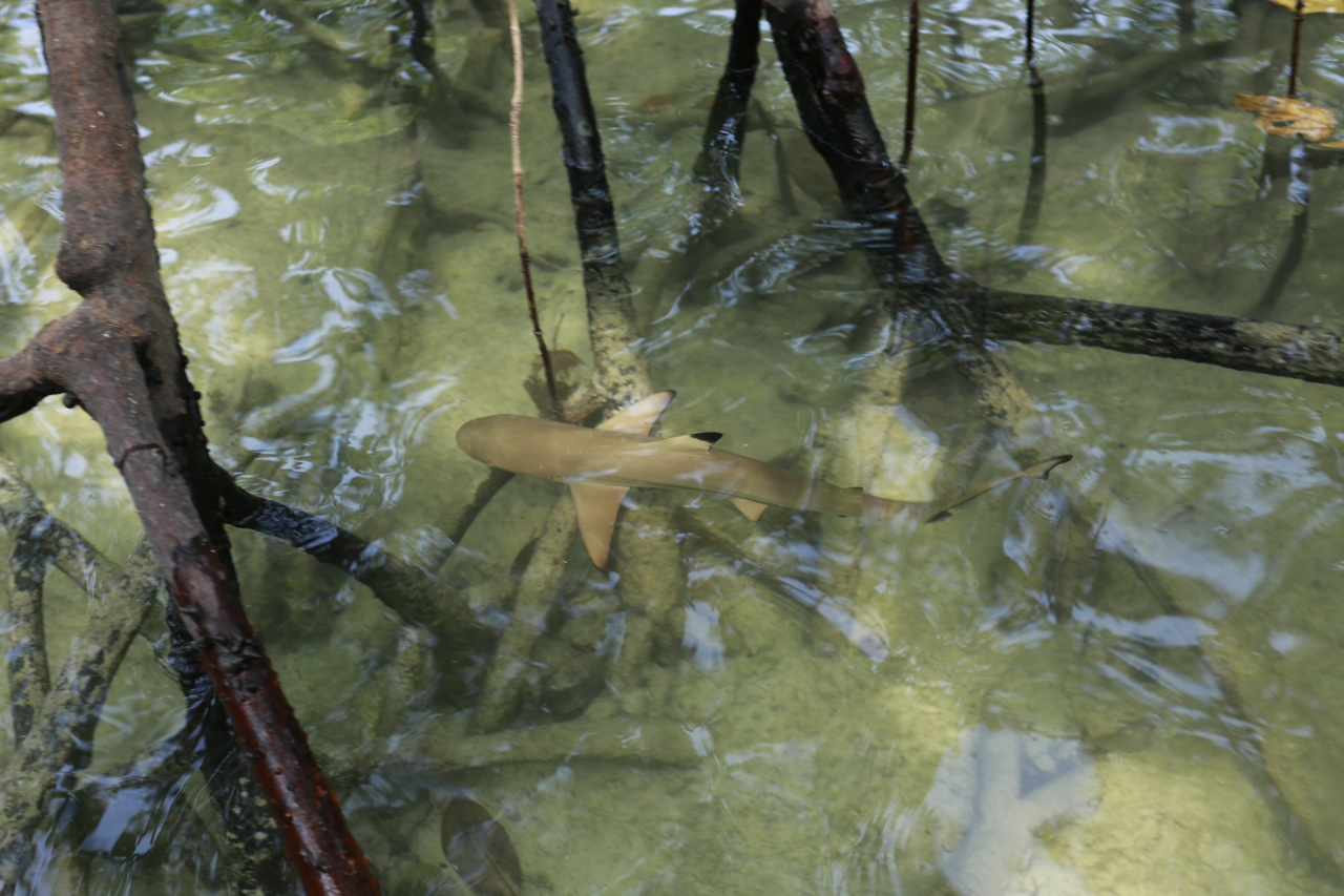 baby shark mangroves