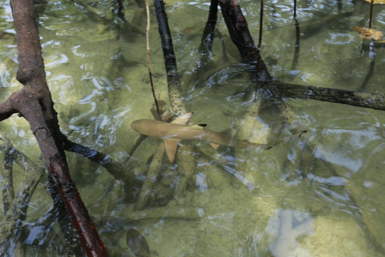baby shark mangroves