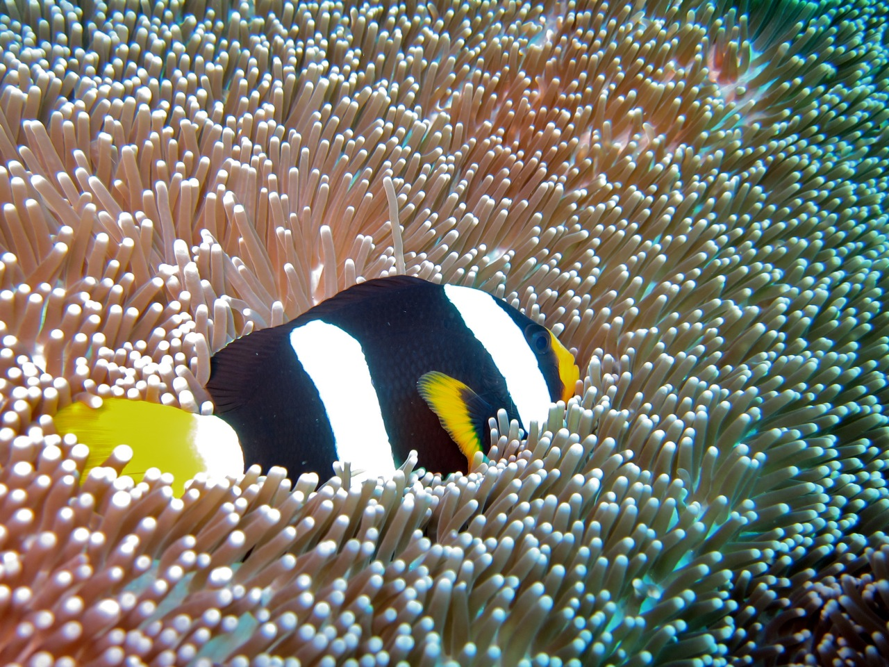 Clarks Anemonefish