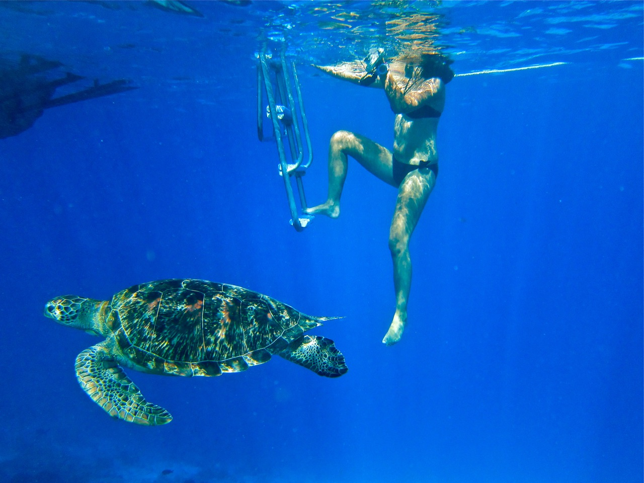 Hawksbill turtle swims close to a boat
