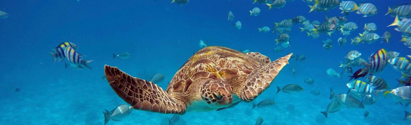 Turtle at Similans